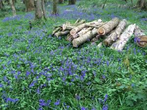 bluebells in Barwheys' woods